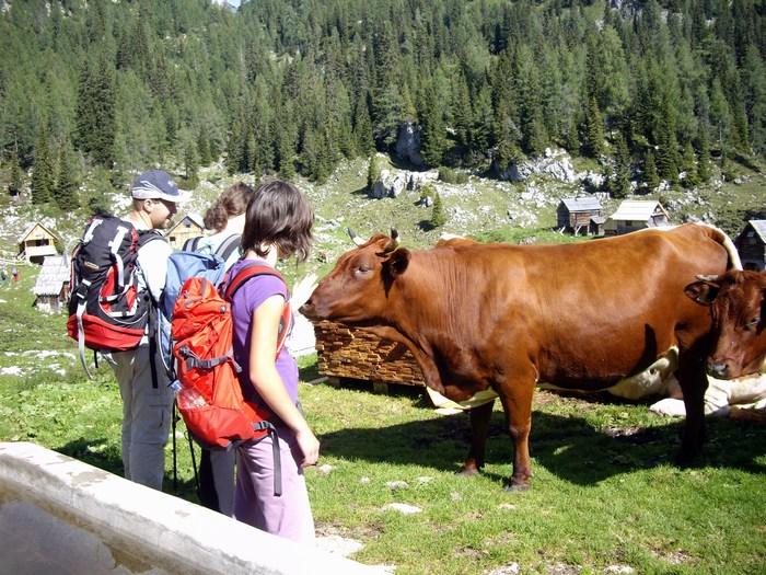 Božali smo kravice na Planini Dedno Polje